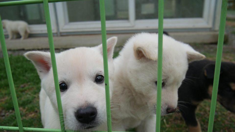 Deux chiens Jindo