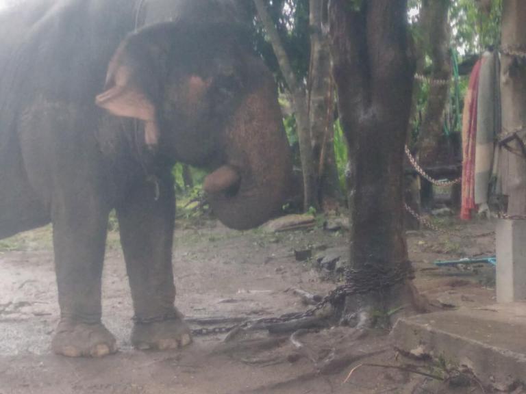 Un éléphant attaché… ☹️
