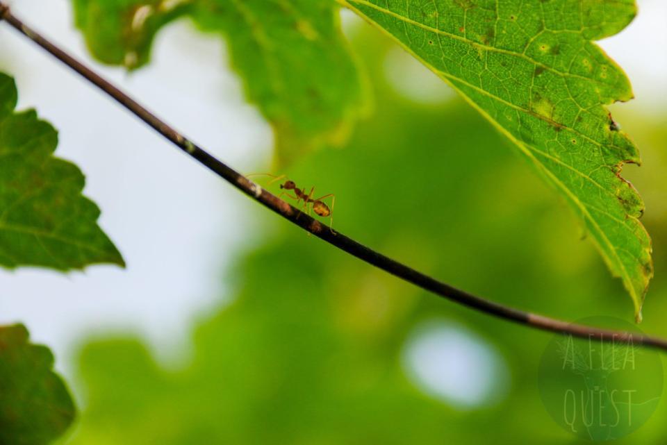 Une fourmi rouge faisant son chemin sur une branche, la bouche en cœur