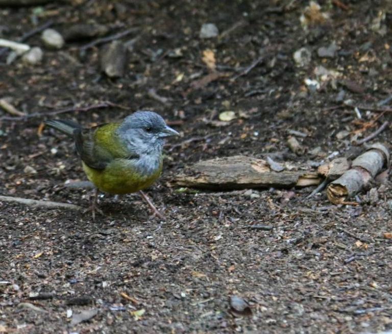 Phrygile de Patagonie femelle (Phrygilus patagonicus)