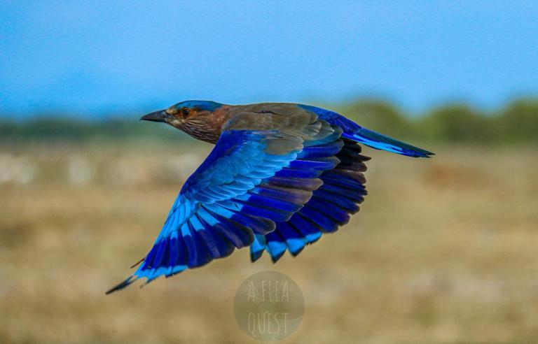 Rollier indien en vol ; l'un des plus beaux oiseaux qu'il m'a été donné de voir