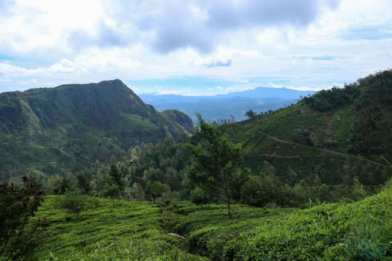 Vue des champs de thé sur la route