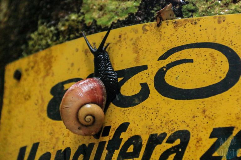 Gros escargot noir à Sinharaja