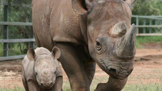 Les braconniers viennent jusqu'en France: un rhinocéros du zoo de Thoiry tué pour sa corne