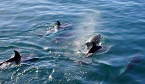 dauphin faire de la voile étrave animaux mythiques magie