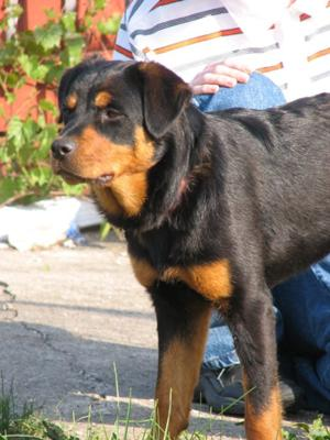 Female Rottweiler Adopted From A Shelter Only Weighs 50