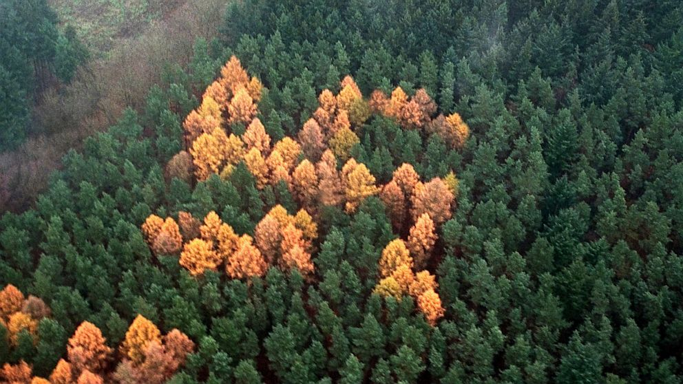 A group of larch trees planted among pines change color to form the shape of swastikas in a forest outside Berlin, as shown in this Nov 4, 2000 photo.