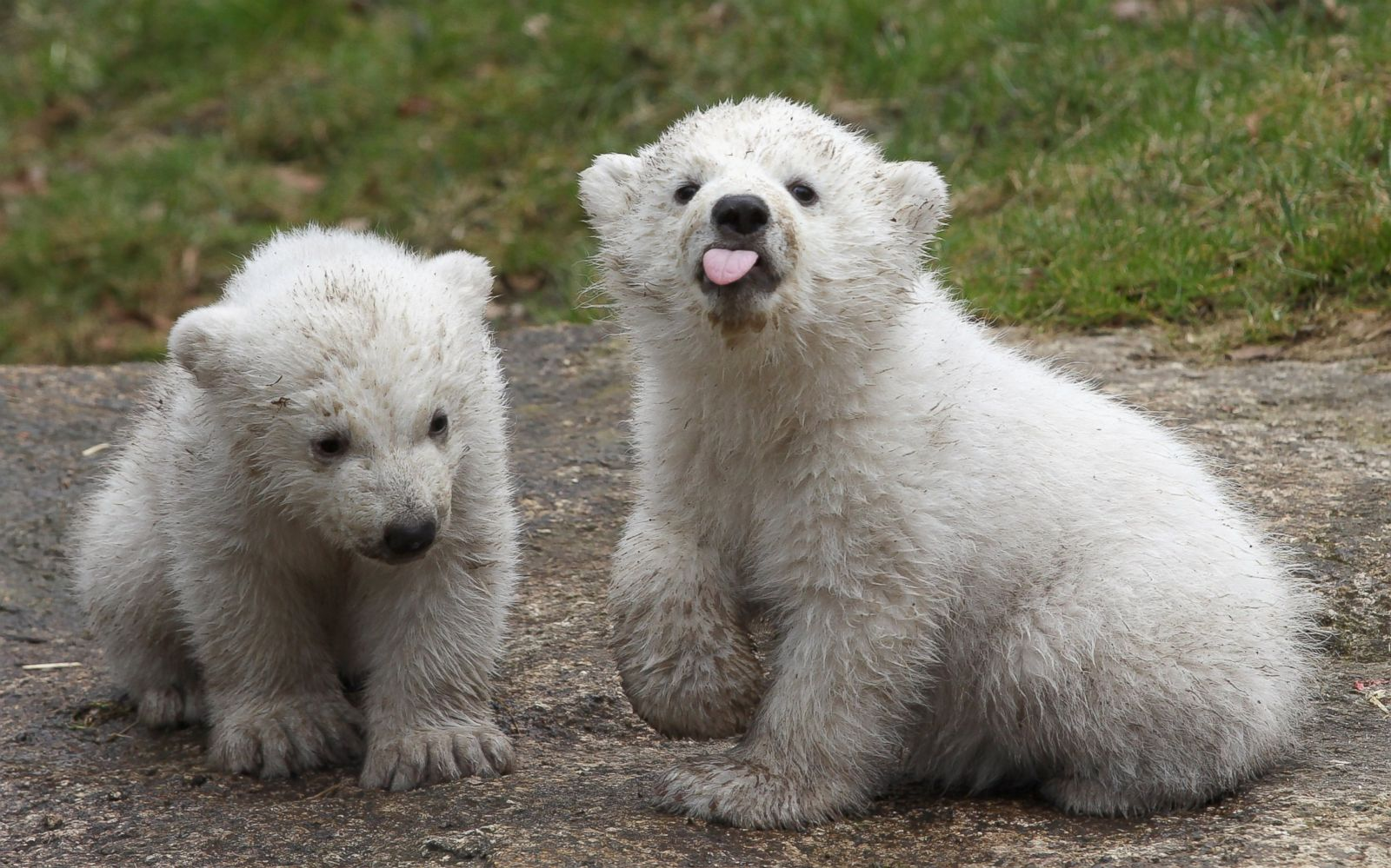Polar Bear Twins Picture