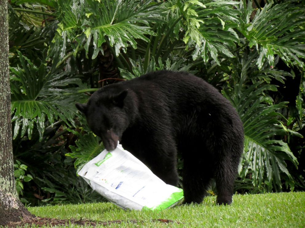 PHOTO: A black bear fell asleep on a lawn after eating dog food in Lake Mary, Florida, on July 18, 2015.