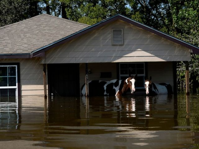 PHOTO: Horses stand in deep floodwaters in the north end of Beaumont, Texas, Aug. 31, 2017. Beaumont firefighters led them to dry land.