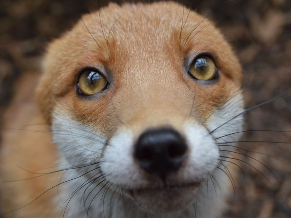 PHOTO: The National Fox Welfare Society said Pudding is too friendly to be released back into the wild.