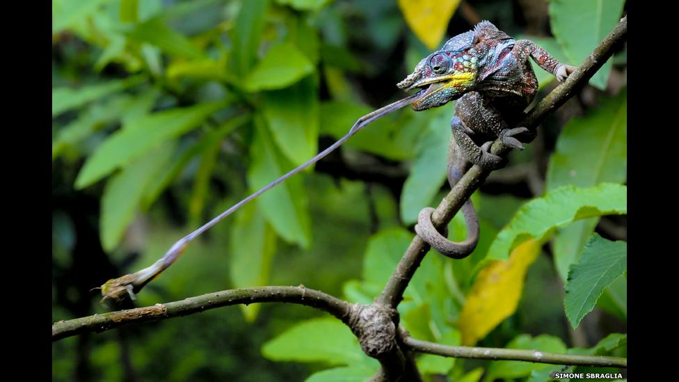 Un camaleón pantera capturando a su presa. Por Simone Sbaraglia