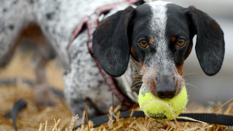 Perro salchica con una pelota