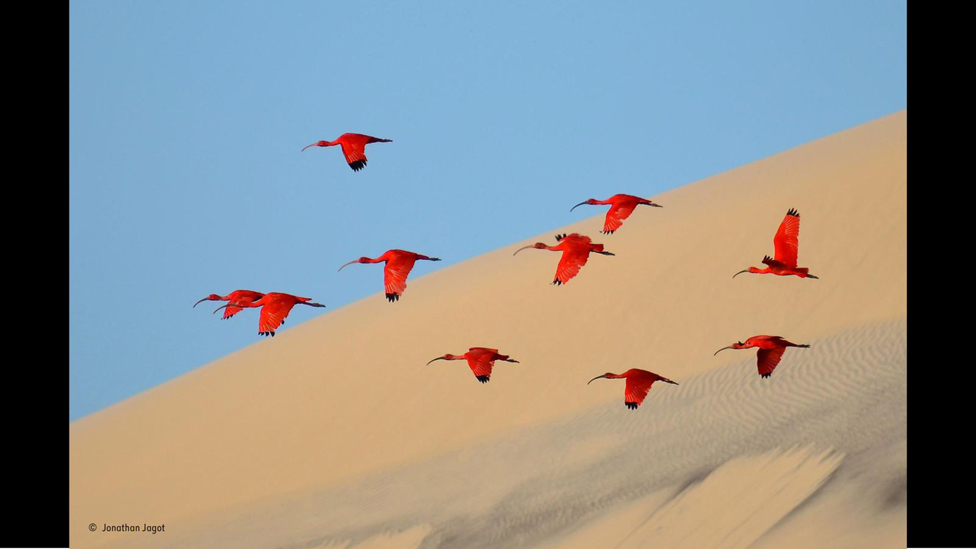Ibis (Foto: Jonathan Jagot)
