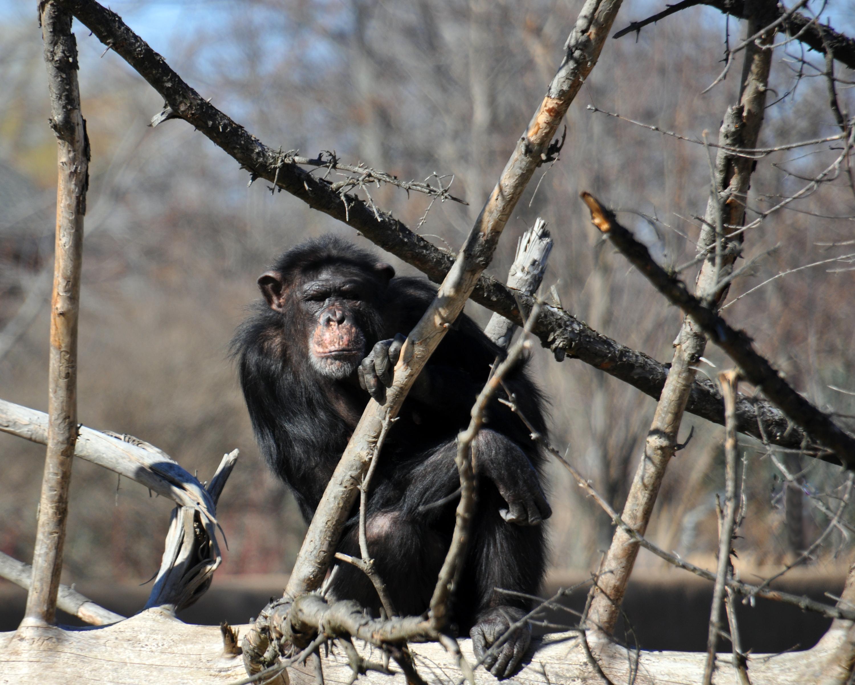 chimpapril