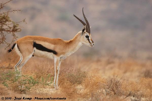 africa tanzania thomsons gazelle eudorcas thomsonii - 800×536