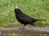 Common Blackbird (male)