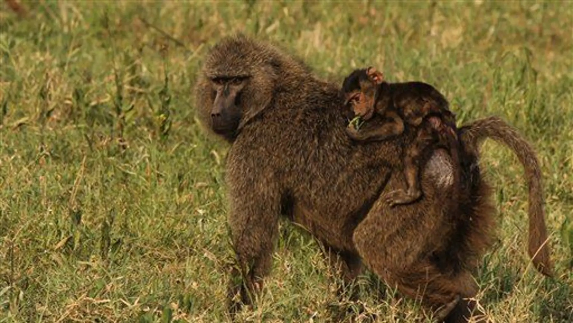 File photo of baboons, these in Tanzania.