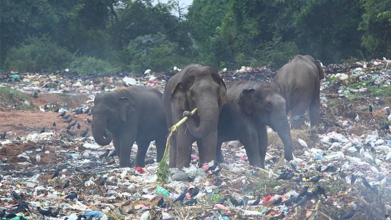 Grupo de elefantes salvajes que buscan plátanos en medio del vertedero (Sri Lanka, Trincomalee)
