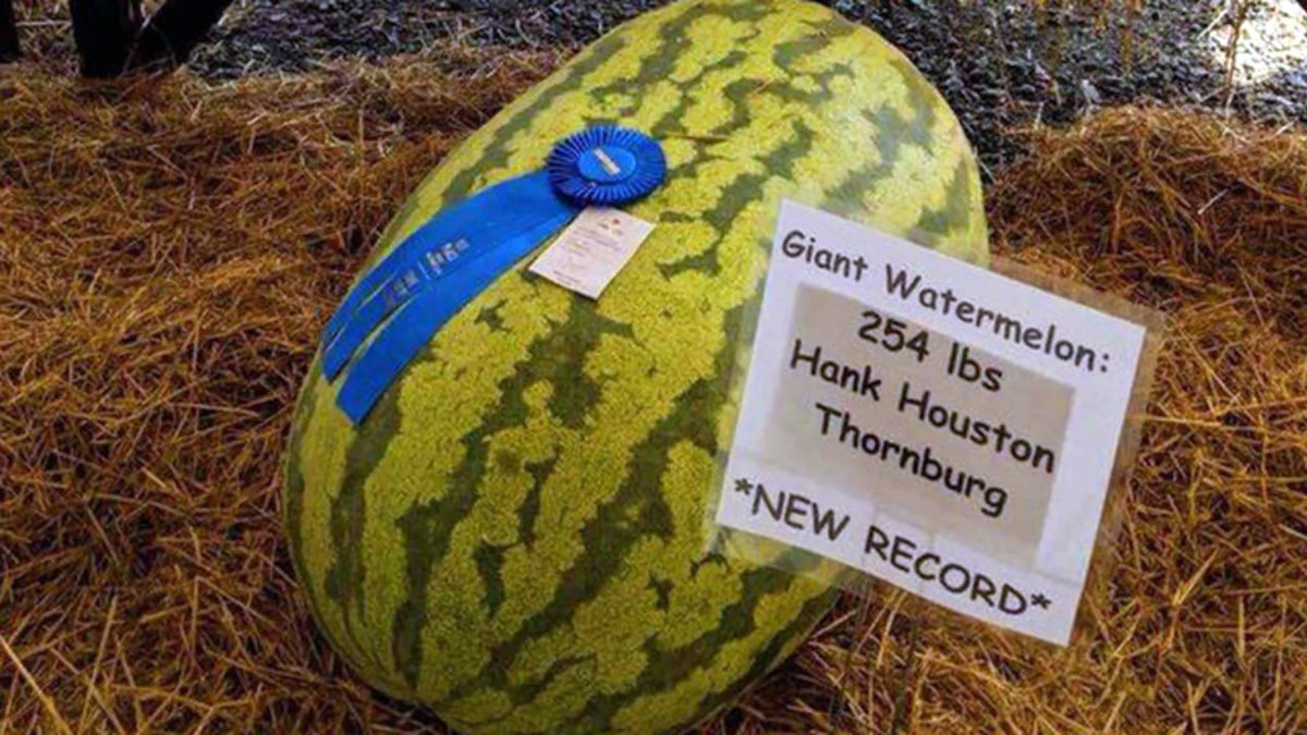 The massive watermelon weighed 254 pounds.