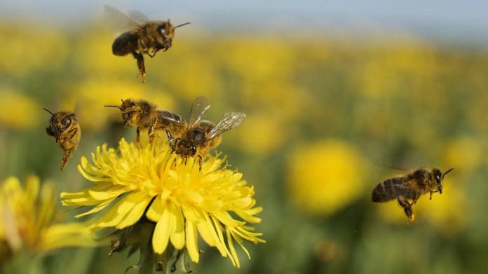 Les abeilles cessent de bourdonner pendant quelques instants lorsque la totalité frappe l'événement éclipse totale de 2017.