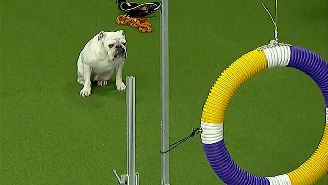 rudy the bulldog's run at westminster kennel club's agility contest
