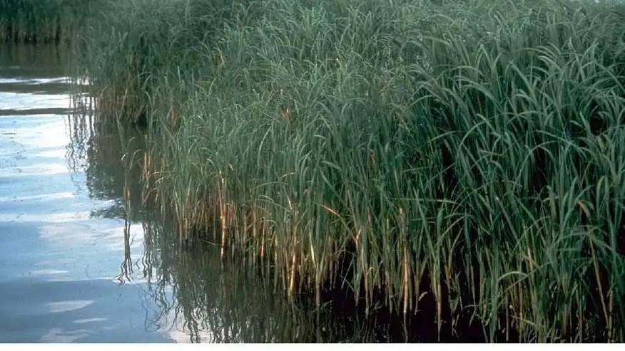 cordgrass.jpg