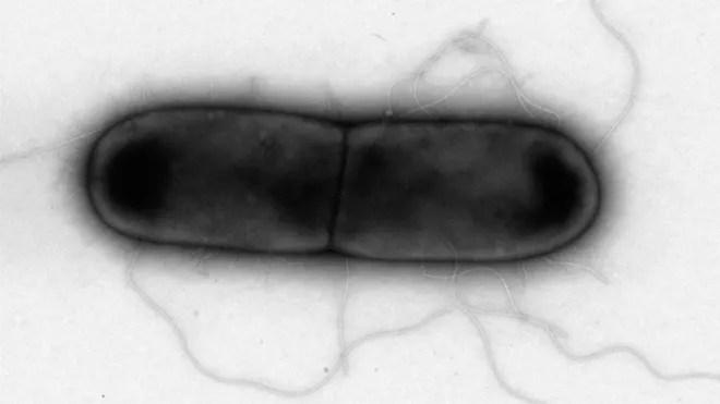 Virus attacking bacteria.jpg