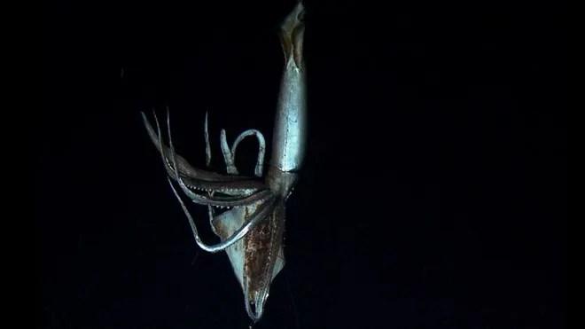 giant squid filmed 2.jpg