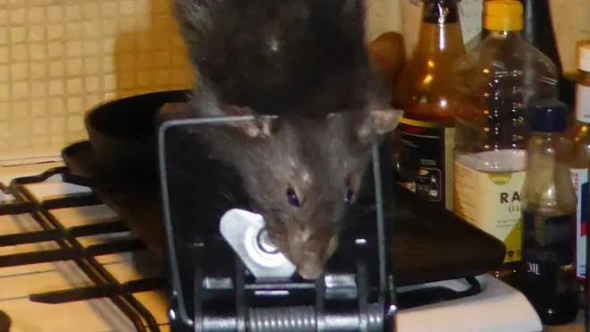 rat outta hell 2.jpg