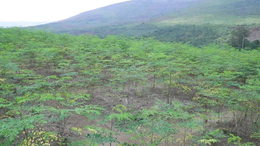 moringatrees661.jpg