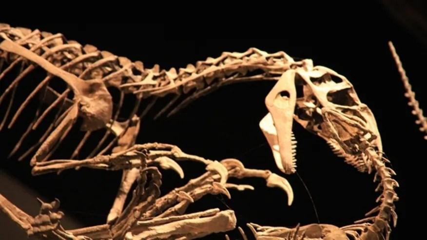 allosaurus-skeleton