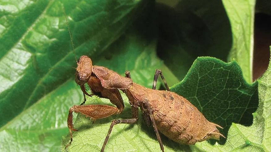 female-bush-tiger-mantis