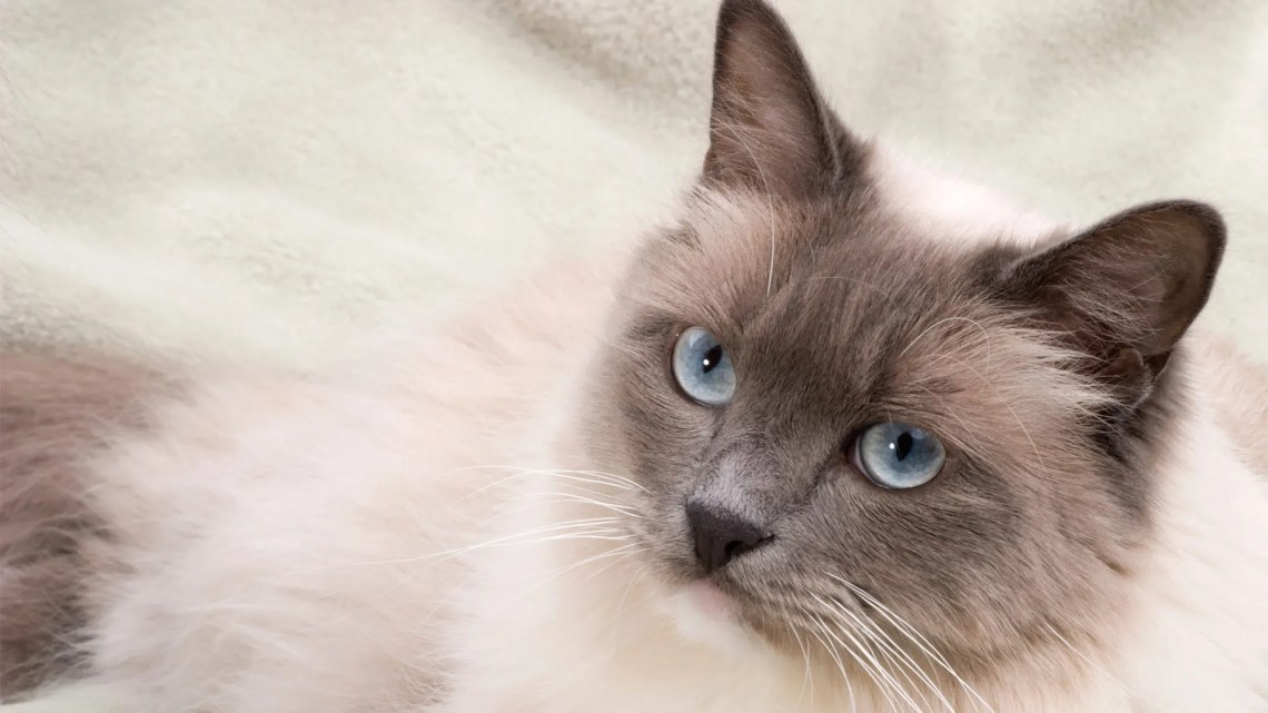 Best Cat Breeds for Apartment Living | Fox News