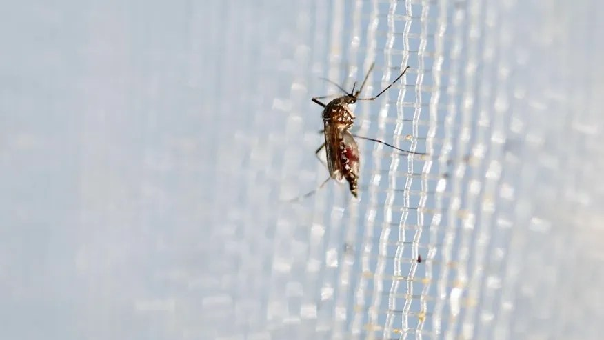 An aedes aegypti mosquitoes is seen in The Gorgas Memorial institute for Health Studies laboratory as they conduct a research on preventing the spread of the Zika virus and other mosquito-borne diseases in Panama City February 4, 2016.