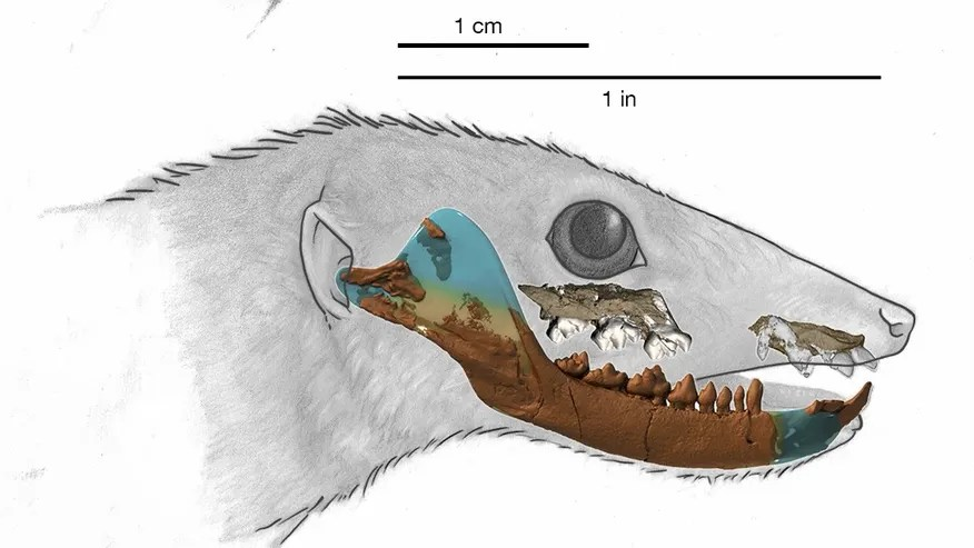 An illustration of Haramiyavia, the earliest known proto-mammal, whose identity is based on a reconstruction of its 210-million-year-old fossil jaw (superimposed on bottom illustration). (April Neander)