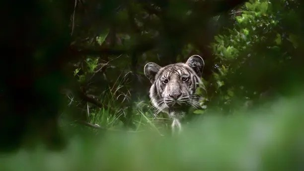 rare pale tiger BY Nilanjan Ra