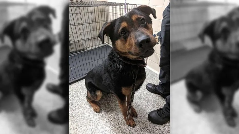 "Courage, a 3-year-old German Shepherd-Rottweiler mix, was found in Detroit with a mountain climbing hook ""literally in his skin."""
