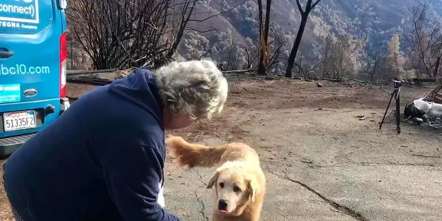 """Madison,"" the Anatolian shepherd dog that apparently guarded his burned home for nearly a month, approaches his owner, Andrea Gaylord, as she was allowed back to check on her burned property in Paradise, Calif. (Shayla Sullivan via AP)"