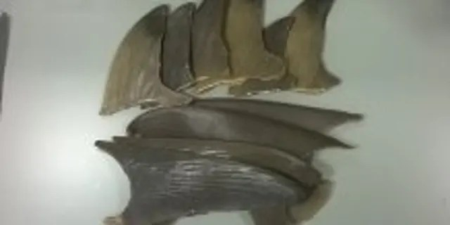 Researchers examined a number of shark fins as part of the study.