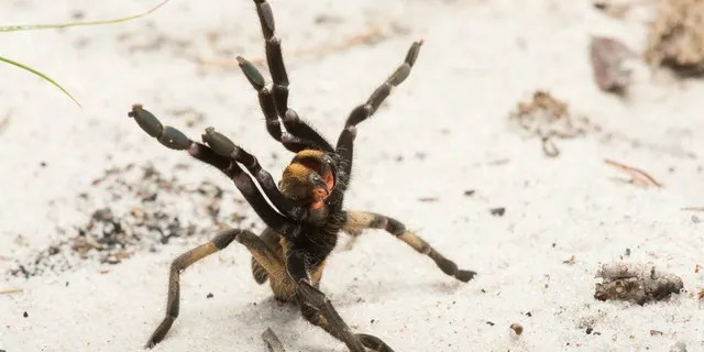 Individual of the newly described species (Ceratogyrus attonitifer) in defensive posture (typical for baboon spiders) in its natural habitat. (Credit: Kostadine Luchansky)