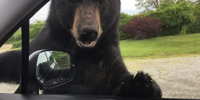 A black bear tried entering a woman's car in Rhode Island on Tuesday, animal control officials said.