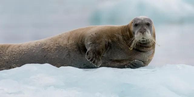 Бородатый тюлень (Erignathus barbatus), покоящийся на ледяном льду у ледника Лиллиехук в Лиллиехокфьордене, Шпицберген, Норвегия.