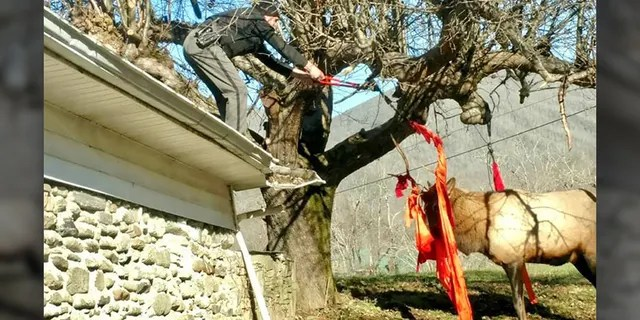 Cpl. Ken Stiles climbed onto the roof, cut the hammock and freed the elk. (Haywood County Sheriff's Office)