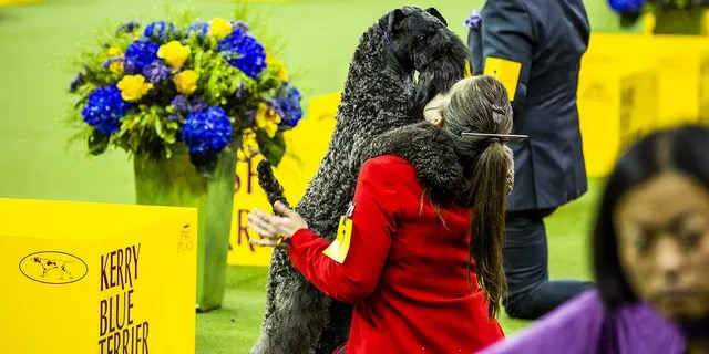A Kerry Blue Terrier hugs its handler while competing in Best of Terrier group at the 143rd Westminster Kennel Club Dog Show in New York, U.S., on Tuesday, Feb. 12, 2019. The Westminster Kennel Club Dog Show, first held in 1877, is America's second-longest continuously held sporting event, behind only the Kentucky Derby.