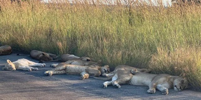 The lions were spotted napping on a road at South Africa's Kruger National Park.