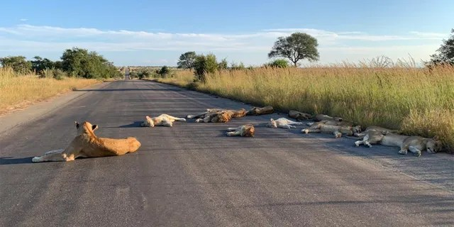The lions were near to the Orpen rest camp at Kruger National Park.