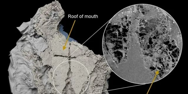Virtual three-dimensional model of the braincase of Minjinia turgenensis generated from CT scan. Inset shows raw scan data showing the spongy endochondral bone inside. (Credit: Imperial College London)