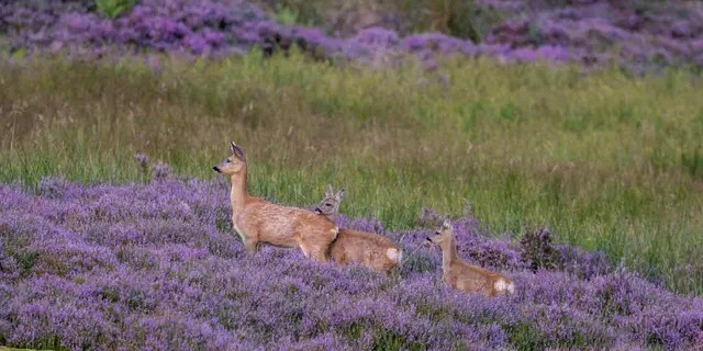 This glorious photo shows a female deer with her two fawns in a field of heather at first light in Glen Quaich, Perthshire. (Credit: SWNS)