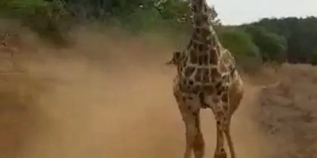 """The wild animal """"fiercely"""" ran after them for a few minutes, before the driver was able to successfully swerve out of its path and the giraffe gave up the chase."""